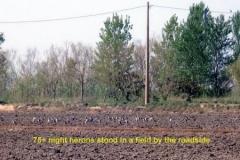 Ebro-Delta-Herons