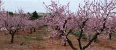 01-Blossom-Panaroma