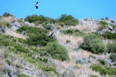 Hunting-birds