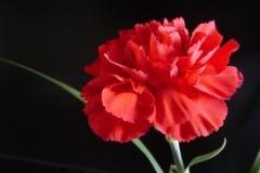 Carnation-Carole-Whitehead