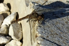 Dragonfly-Mary-Steenhuis