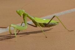 Praying-Mantis-Peter-Whitehead
