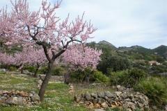 Almond-Blossom-2011-by-Dodie-Hodgkinson