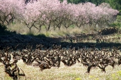 Almond-Blossom-3-by-Pat-Robinson
