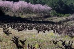 Almond-Blossom1by-Pat-Robinson